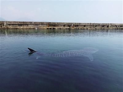 姚鹏称,视频是其朋友称在海南分界洲岛放生鲸鲨的画面.