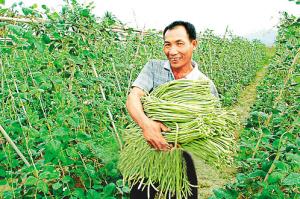 """冬季瓜菜成了三亚农民的""""摇钱树"""".  本报资料照片图片"""