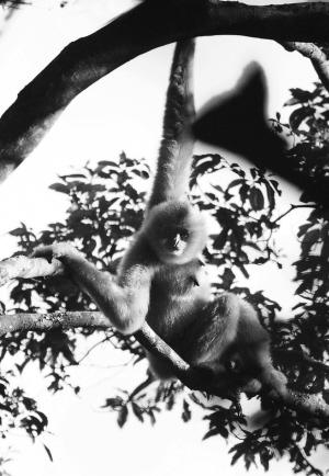 海南长臂猿是霸王岭热带雨林中的珍稀ag游戏直营网|平台