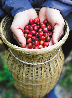 海南日报数字报-到兴隆体验淳朴咖啡味