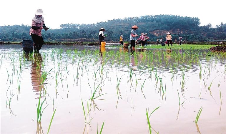 3月1日,在万宁市东澳镇水桥村,村民们开始为春种忙碌了起来.