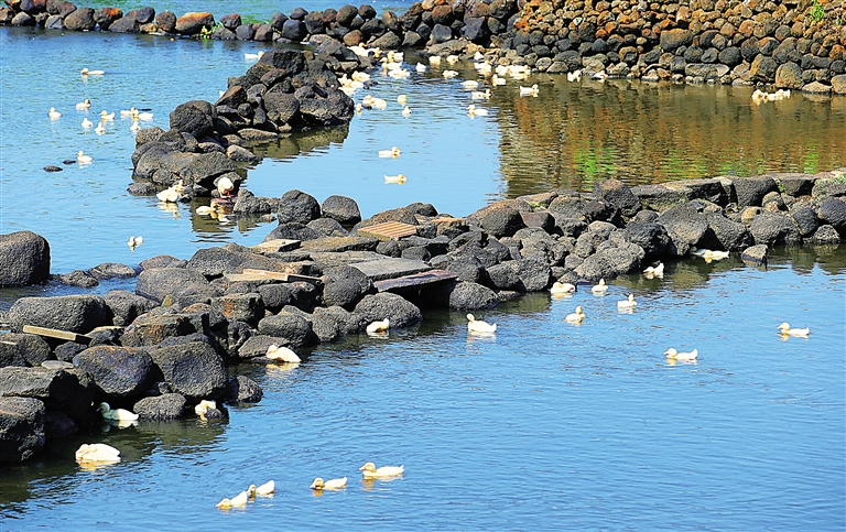 泉水清澈见底,野鸭子畅游其中,成为路边一道别样风景.