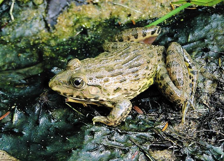 国家二级保护动物虎纹蛙