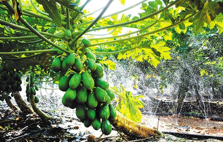 儋州市海头镇高山村海南飞龙未来城投资有限公司种植的2500亩木瓜