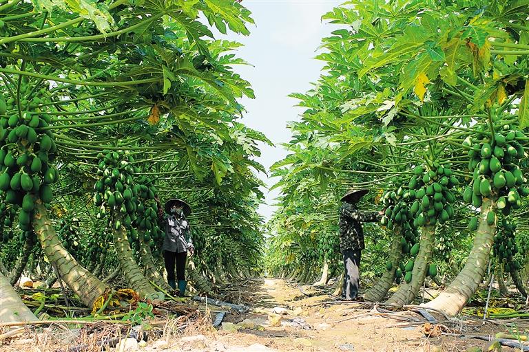 当地农民正在儋州市海头镇高山村木瓜基地进行管理.