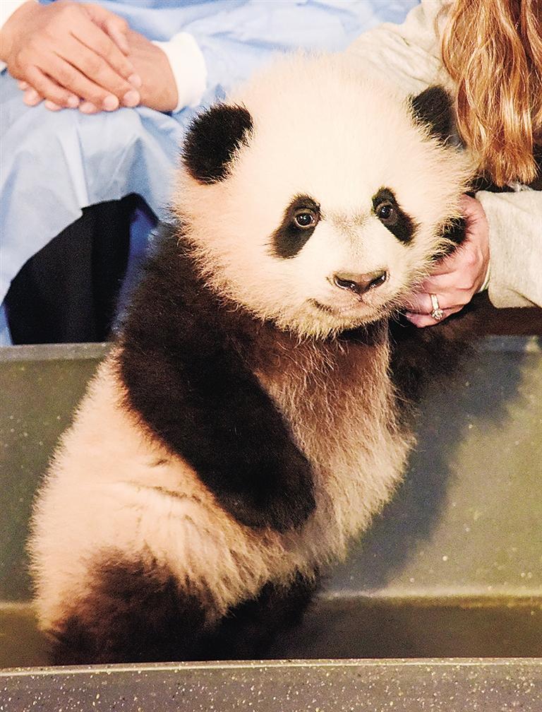 海南日报数字报-华盛顿国家动物园的 br>大熊猫