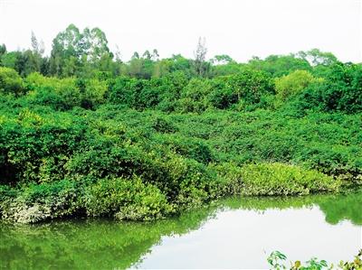 海南大学红树林
