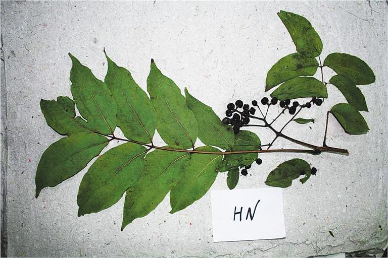 树叶diy标本