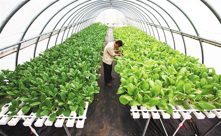 -->  6月2日,三亚市南繁科学技术研究院科技人员在大棚中查看水耕栽培蔬菜长势。   据悉,水耕栽培是无土栽培的一种,通过对营养液的科学搭配,实现生产全程无农药,大大提升了农作物的产量和安全性。目前该技术适用于小白菜、菜心、生菜等叶菜类产品。   文/本报记者 袁宇   图/本报记者 武威-->