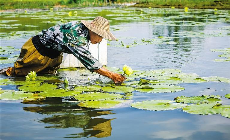 儋州市南丰镇和疋村的村民在自家稻田改造的水塘里采摘台湾九品