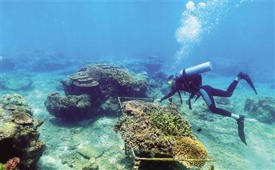工作人员在陵水分界洲岛旅游区海洋牧场巡检珊瑚生长情况.