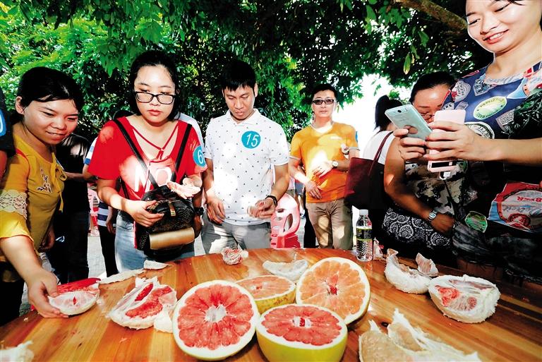 游客在儋州市南丰镇农夫子蜜柚基地采摘蜜柚.