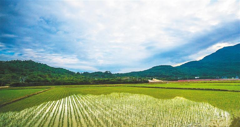 三亚国家海岸海棠湾孕育出以农业生态为本,水稻文化为魂,乡村发展