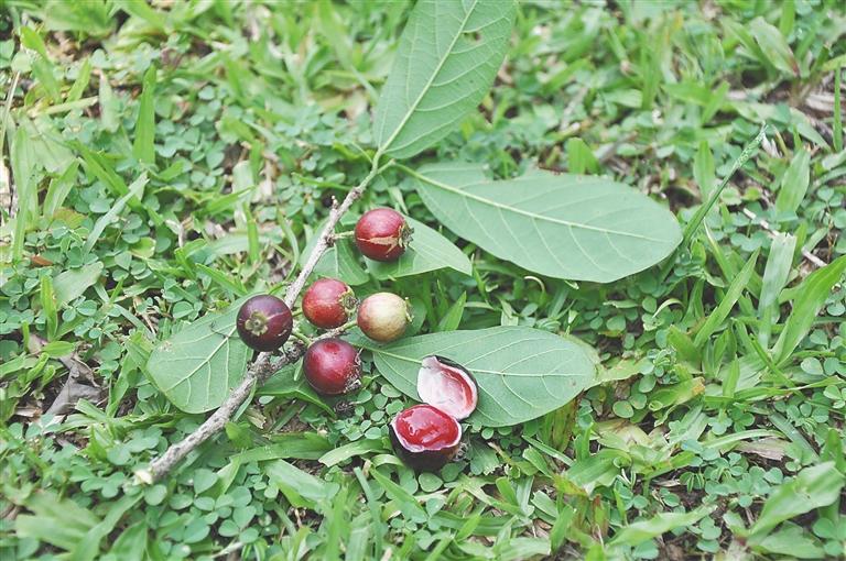 土坛树的果实