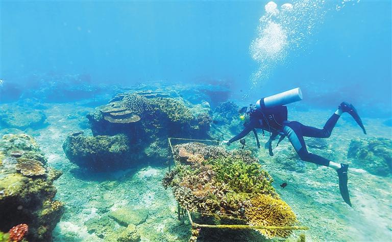 """陵水分界洲岛旅游区,工作人员在""""海底牧场""""的珊瑚保育区,进行珊瑚"""