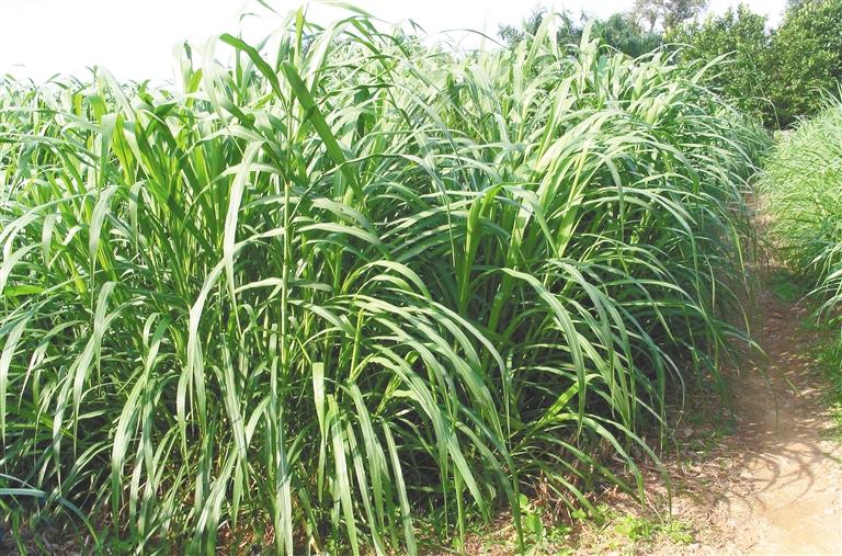 中国热科院构建完整的热带牧草种质资源保存体系