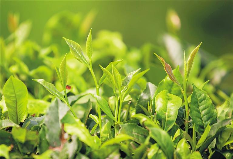 清明踏青采茶游,品味海岛茶文化(图5)