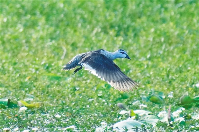 在海南已117年未监测到的珍稀鸟类棉凫现身昌江